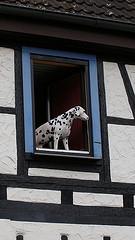 Dalmatian in Window