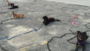 Preparing for the Canine Good Citizen (CGC) Test | Spring Forth Dog Academy