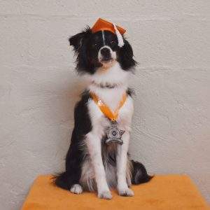 AKC STAR Puppy - Charm the Miniature American Shepherd